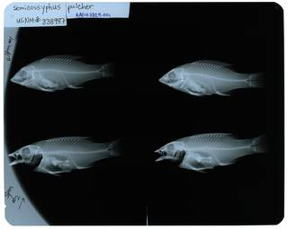 To NMNH Extant Collection (Semicossyphus pulcher RAD107329-001)