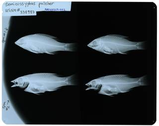 To NMNH Extant Collection (Semicossyphus pulcher RAD107329-002)