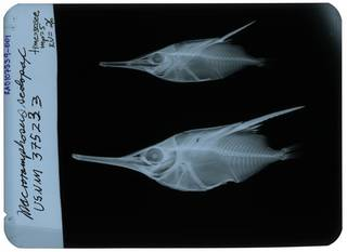 To NMNH Extant Collection (Macroramphosus scolopax RAD107339-001)