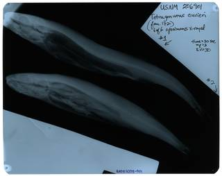 To NMNH Extant Collection (Tetragonurus cuvieri RAD107358-001)