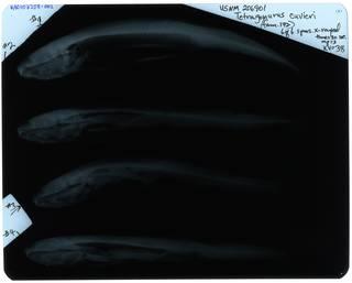 To NMNH Extant Collection (Tetragonurus cuvieri RAD107358-002)