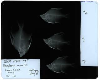 To NMNH Extant Collection (Enoplosus armatus RAD107378-001)