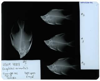 To NMNH Extant Collection (Enoplosus armatus RAD107378-002)