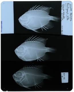To NMNH Extant Collection (Pristigenys alta RAD107387-001)