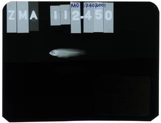 To NMNH Extant Collection (Nematochromis annae RAD107407-001)