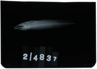 To NMNH Extant Collection (Pseudaphritis urvillii RAD107417-002)