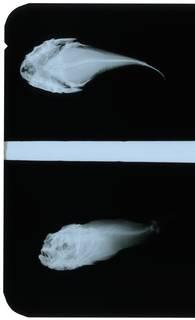 To NMNH Extant Collection (Xenocephalus armatus RAD107430-001)