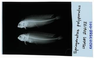 To NMNH Extant Collection (Springeratus polyporatus RAD107588-001)