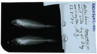 To NMNH Extant Collection (Notoclinus compressus RAD107602-001)