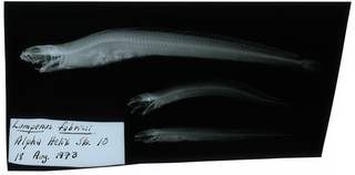 To NMNH Extant Collection (Lumpenus fabricii RAD107608-001)
