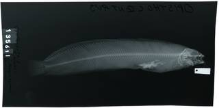 To NMNH Extant Collection (Abryois azumae RAD107613-001)