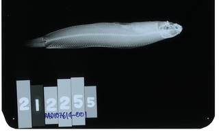 To NMNH Extant Collection (Opisthocentrus zonope RAD107614-001)