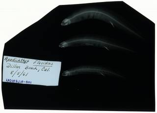 To NMNH Extant Collection (Apodichthys flavidus RAD107620-001)