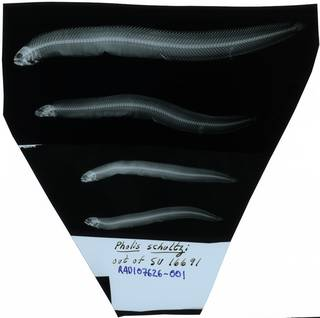 To NMNH Extant Collection (Pholis schultzi RAD107626-001)