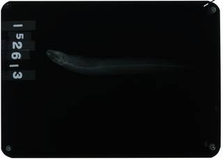 To NMNH Extant Collection (Gymnelus viridis RAD107644-001)
