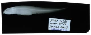 To NMNH Extant Collection (Lycodes vahlii RAD107649-002)