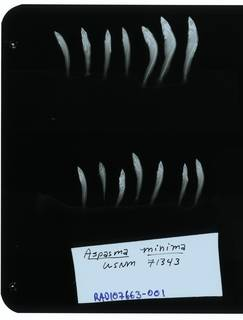 To NMNH Extant Collection (Aspasma minima RAD107663-001)