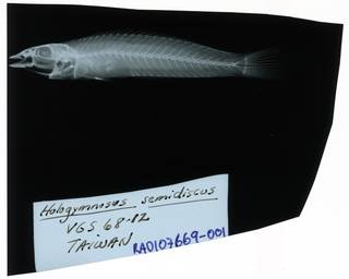 To NMNH Extant Collection (Hologymnosus annulatusÿ RAD107669-001)