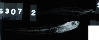 To NMNH Extant Collection (Dactyloscopus tridigitatus RAD107692-001)