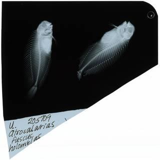 To NMNH Extant Collection (Atrosalarias hosokawai RAD106717-001)