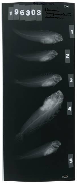 To NMNH Extant Collection (Parablennius sanguinolentus RAD106765-001)