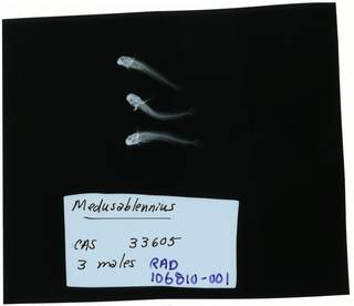 To NMNH Extant Collection (Medusablennius  RAD106810-001)