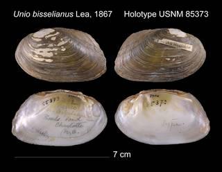 To NMNH Extant Collection (Unio bisselianus Lea, 1867    USNM 85373)