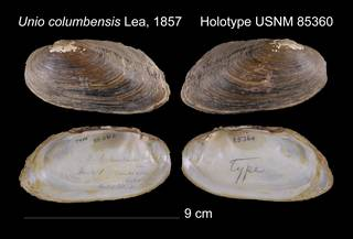 To NMNH Extant Collection (Unio columbensis Lea, 1857     USNM 85360)
