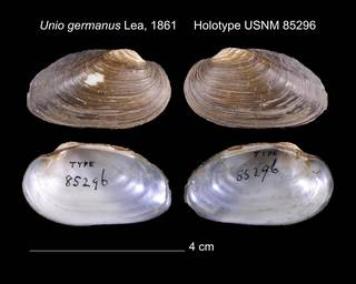 To NMNH Extant Collection (Unio germanus Lea, 1861    USNM 85296)