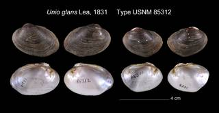 To NMNH Extant Collection (Unio glans Lea, 1831     Type USNM 85312)