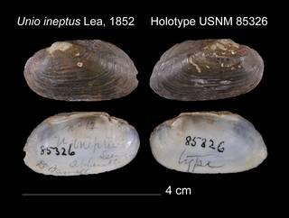 To NMNH Extant Collection (Unio ineptus Lea, 1852     Holotype USNM 85326)