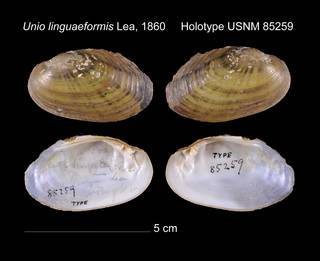 To NMNH Extant Collection (Unio linguaeformis Lea, 1860     Holotype USNM 85259)