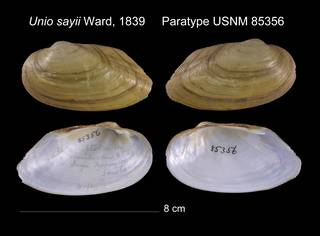 To NMNH Extant Collection (Unio sayii Ward, 1839     Paratype USNM 85356)