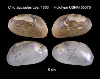 To NMNH Extant Collection (Unio squalidus Lea, 1863     Holotype USNM 85376)