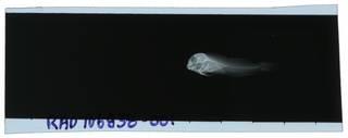 To NMNH Extant Collection (Hypsoblennius invemar RAD106838-001)