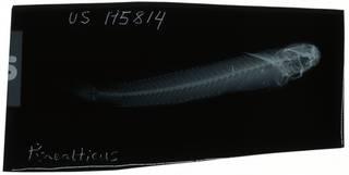 To NMNH Extant Collection (Praealticus semicrenatus RAD106895-001)