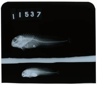 To NMNH Extant Collection (Parablennius  RAD108067-001)
