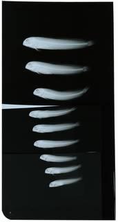 To NMNH Extant Collection (Omobranchus zebra RAD108154-001)