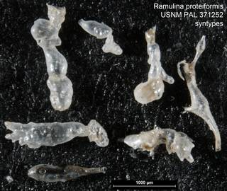 To NMNH Paleobiology Collection (Ramulina proteiformis USNM PAL 371252 syntypes)