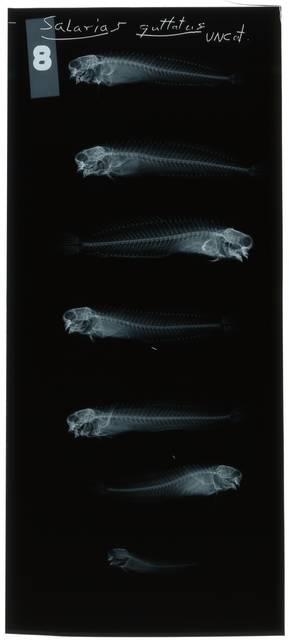 To NMNH Extant Collection (Salarias guttatus RAD108381-001)