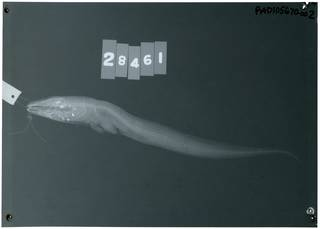 To NMNH Extant Collection (Bathycongrus varidens RAD105670-002)