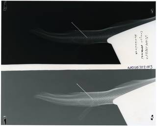 To NMNH Extant Collection (Conger verreauxi RAD105702-003)