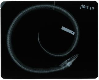 To NMNH Extant Collection (Scytalichthys miurus RAD107812-001)