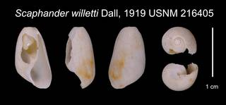 To NMNH Extant Collection (Scaphander willetti Dall, 1919 USNM 216405)