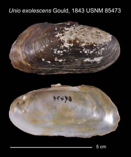 To NMNH Extant Collection (Unio exolescens Gould, 1843 USNM 85473)