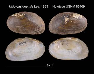 To NMNH Extant Collection (Unio gastonensis Lea, 1863 USNM 85409)