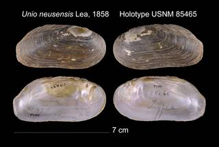 To NMNH Extant Collection (Unio neusensis Lea, 1858 USNM 85465)