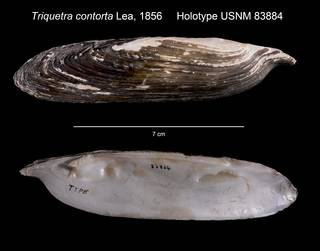 To NMNH Extant Collection (Triquetra contorta Holotype USNM 83884)