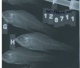To NMNH Extant Collection (Apogon dovii RAD105009-001)
