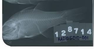 To NMNH Extant Collection (Apogon dovii RAD105010-001)